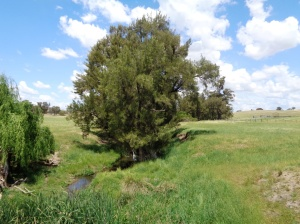 Nubrigan Creek where the Coo-ees stopped for lunch under the willow trees in 1915. Photograph 25/10/2015